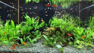 初めての熱帯魚/飼いやすい熱帯魚の種類