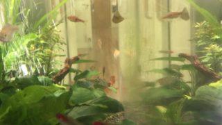 コケ を食べる 熱帯魚! 水槽 の コケ を食べつくせ! ~淡水編~