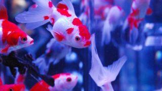金魚と一緒に飼える魚や生き物は何がいる?