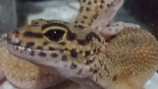 水槽 で 爬虫類 を飼おう! 爬虫類ケージは水槽で!