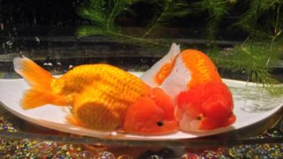 金魚 の 病気・寄生虫 と 対処法