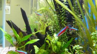 初心者におすすめな飼いやすい 熱帯魚水槽と熱帯魚10種類!