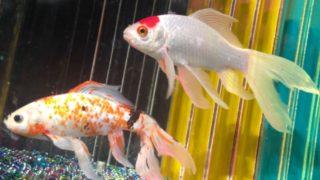一緒に飼える金魚の種類と相性
