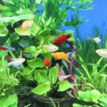 小型水槽でも飼育できる熱帯魚 おすすめ5