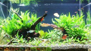 写真でみる水槽レイアウト:実績でみるプロの事例(淡水魚)