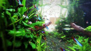 飼いやすい熱帯魚の特徴【淡水魚編】