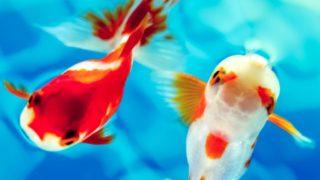 初心者でも飼育しやすい金魚の種類5つ