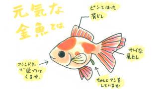 元気な 金魚 を 見分ける方法