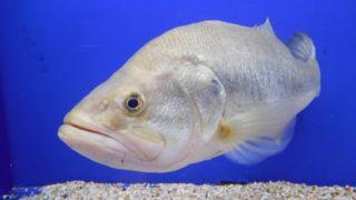 無許可で飼ってはいけないお魚「特定外来生物」について