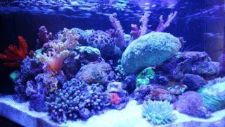 サンゴの魅力をご紹介 水槽レイアウト事例