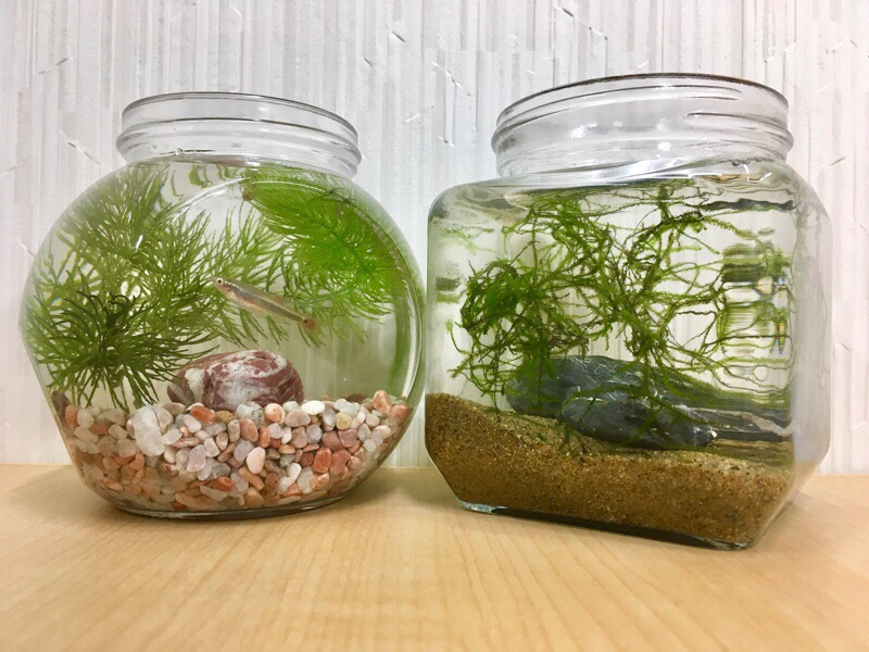 ボトルアクアリウムに入れるおすすめな熱帯魚やエビ、貝ベスト10をご紹介します!