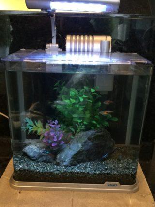 水槽 の 掃除屋 と呼ばれる 熱帯魚 コリドラス