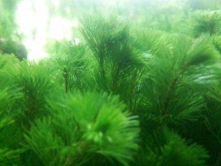 金魚やメダカに最適な水草、カボンバの育て方、増やし方、コケ掃除などまとめ