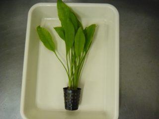 【写真で解説】ポット入り水草を買ってきた時の処理方法
