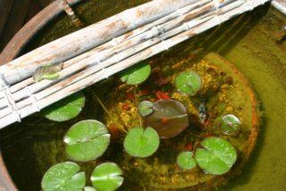 グリーンウォーターでメダカや金魚を飼育する?メリットやデメリットとは