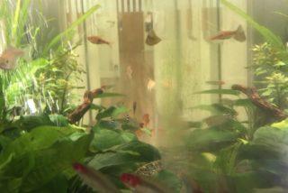 【初心者におすすめ】コケ を食べる熱帯魚・エビ・貝をおすすめ順に紹介!