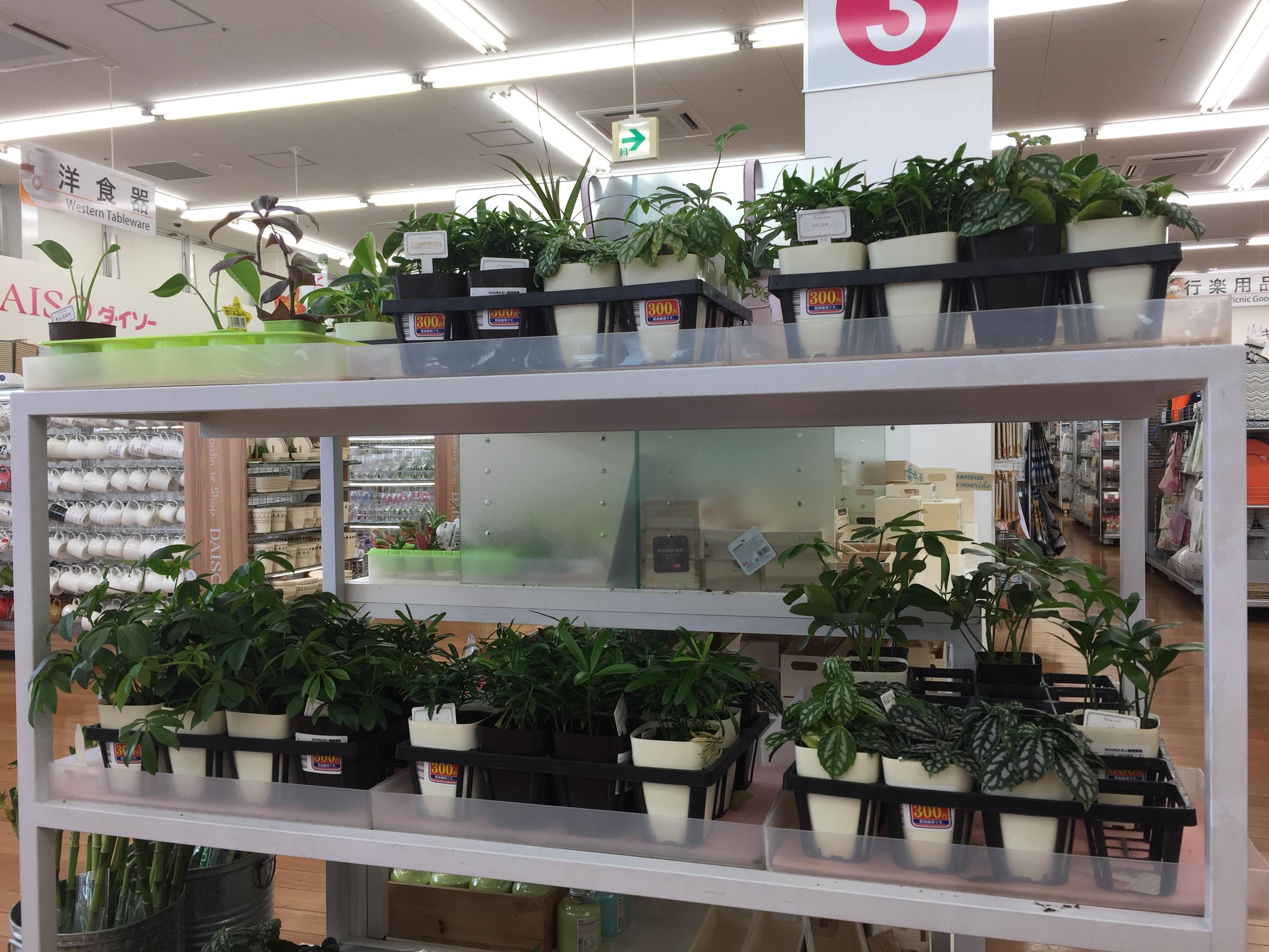 100円ショップの観葉植物