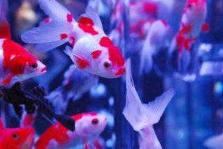金魚と一緒に飼える魚や生き物は何がいる?金魚の混泳を徹底解説!