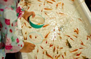 夜店やお祭りの金魚すくいの金魚を死なせない4つのポイント
