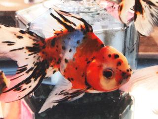 大きくなって飼育できなくなった魚は引き取ってもらえる!?