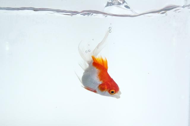 逆さま 浮く 金魚