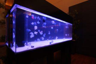 クラゲを飼育! 自宅で飼うためのコツと餌や水温、入手方法について