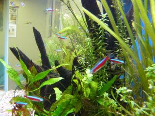 初心者におすすめ!飼いやすい熱帯魚水槽のサイズと熱帯魚10種類!