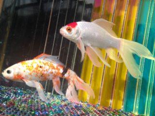 金魚同士の相性と種類、一緒に飼える生き物