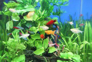 小型水槽でも飼育できる熱帯魚 おすすめ人気の魚ベスト5