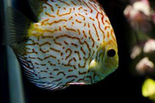 【症状別で分かりやすい】熱帯魚の代表的な病気9選!治療方法や予防と対策