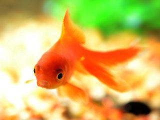 金魚を買うならどこがいい!?