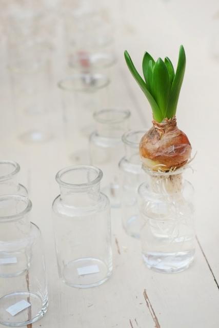 水耕栽培 球根