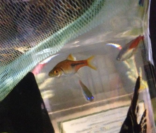 金魚との混浴に向いている熱帯魚種類 ラスボラ