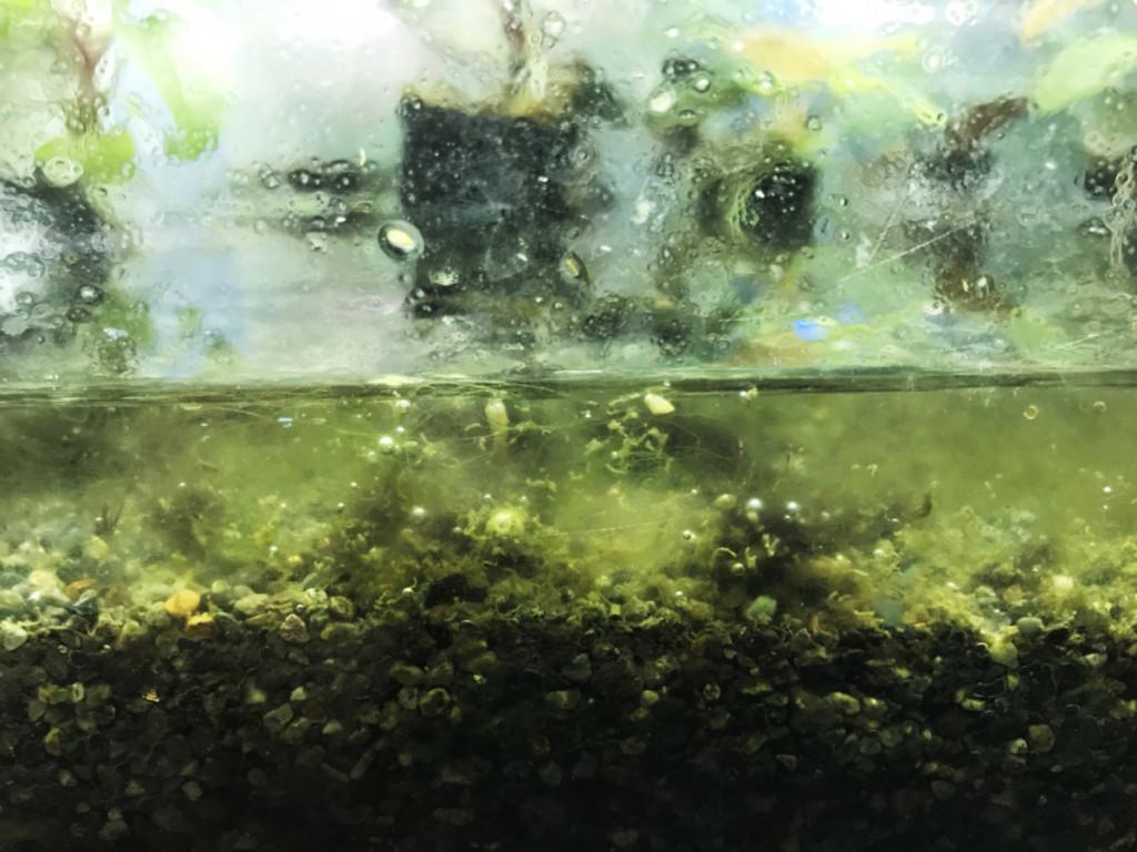 水槽のアオミドロ