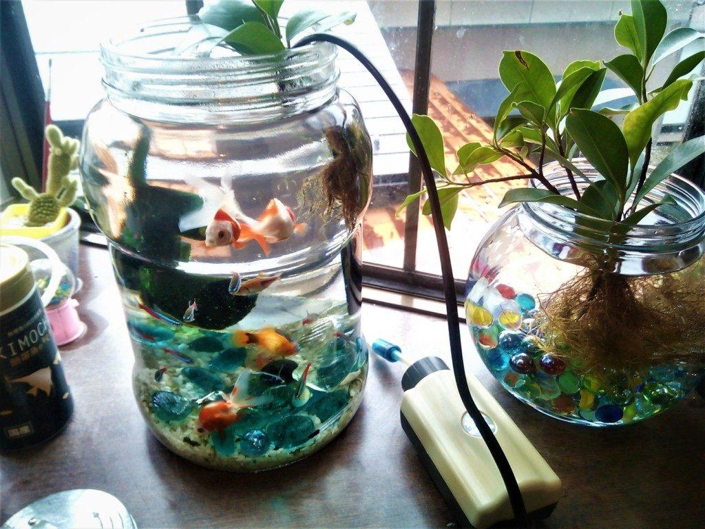 金魚と熱帯魚は一緒に飼える? プラティーと琉金