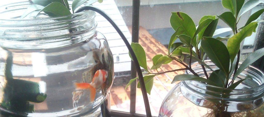 ガジュマル 水耕栽培 水槽 水質浄化 金魚 熱帯魚