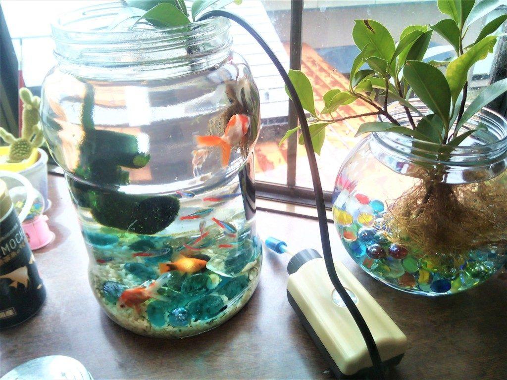 金魚と熱帯魚の混浴風景。水槽は未使用だった梅酒瓶