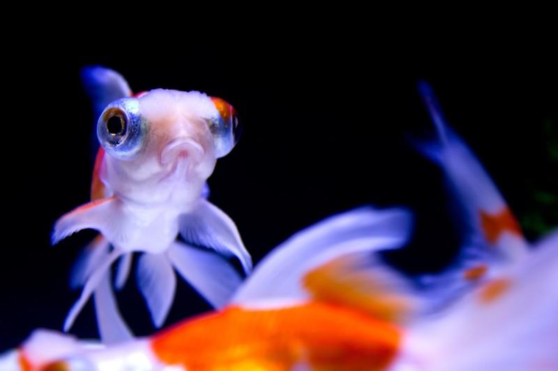 冬時期の金魚にはヒーターが必要。 画像「むっつり顔の出目金」