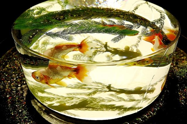 金魚鉢 金魚 水草 マツモ ボトルアクアリウム 小型水槽 餌
