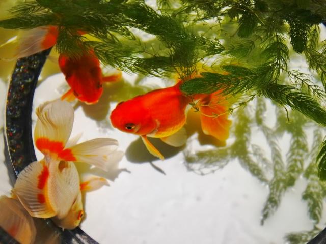 金魚向けの水草 マツモ 金魚 琉金