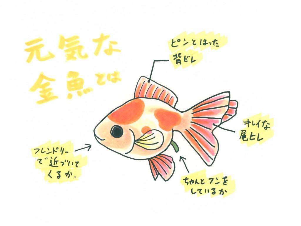 てる 金魚 じっと し