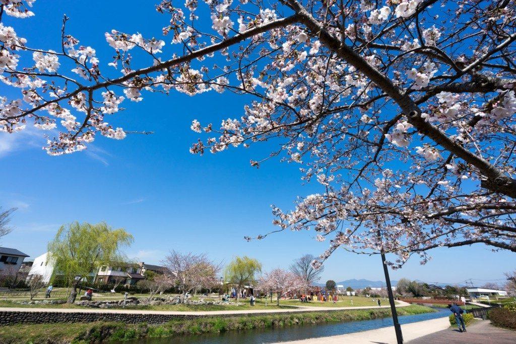 春 桜 メダカ