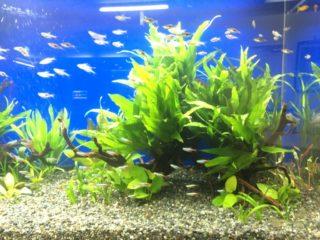 混泳で相性のいい熱帯魚と悪い熱帯魚