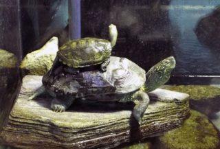 玄関の水槽で亀を飼ってはいけない?!