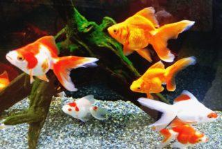 【プロが教える】金魚のフンを掃除しよう!かんたんに除去する方法