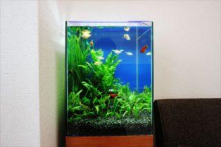 30センチ以下の水槽で飼える、おすすめ小型熱帯魚ベスト10