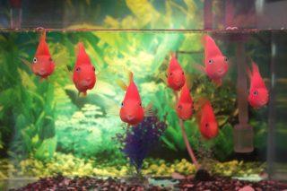 熱帯魚の繁殖?水草育成?楽しみ方別に人気のある熱帯魚を紹介!