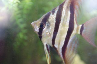 エンゼルフィッシュの混泳について!一緒に飼える魚や生き物は何がいる?
