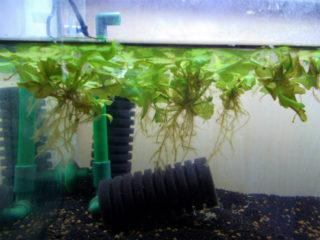 熱帯魚水槽に浮き草を入れよう!おすすめで人気の浮草8選