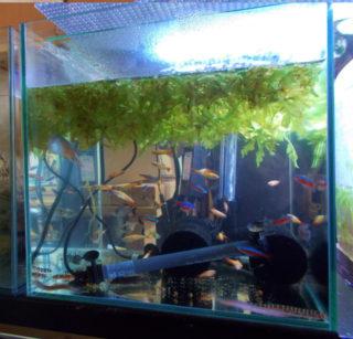 過密飼育に注意!熱帯魚を水槽に入れすぎていませんか? 最適な匹数とは
